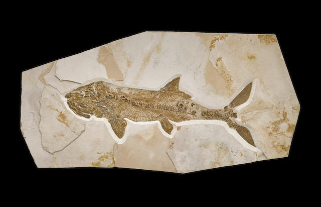 Astonishing Texan Fossil Fish - Undescribed Species