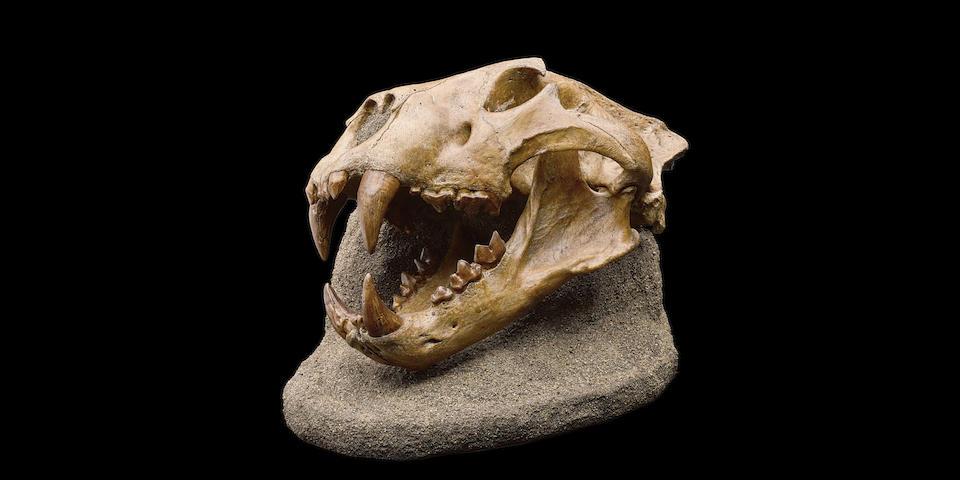 Extinct American Lion – An Enormous Skull