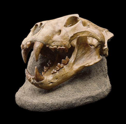 Extinct American Lion – An Enormous Skull