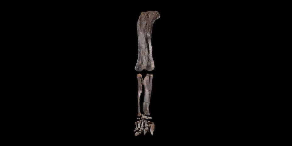 Immense Dinosaur Leg