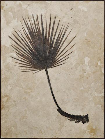 Impressive Fossil Palm Frond – Framed Mural