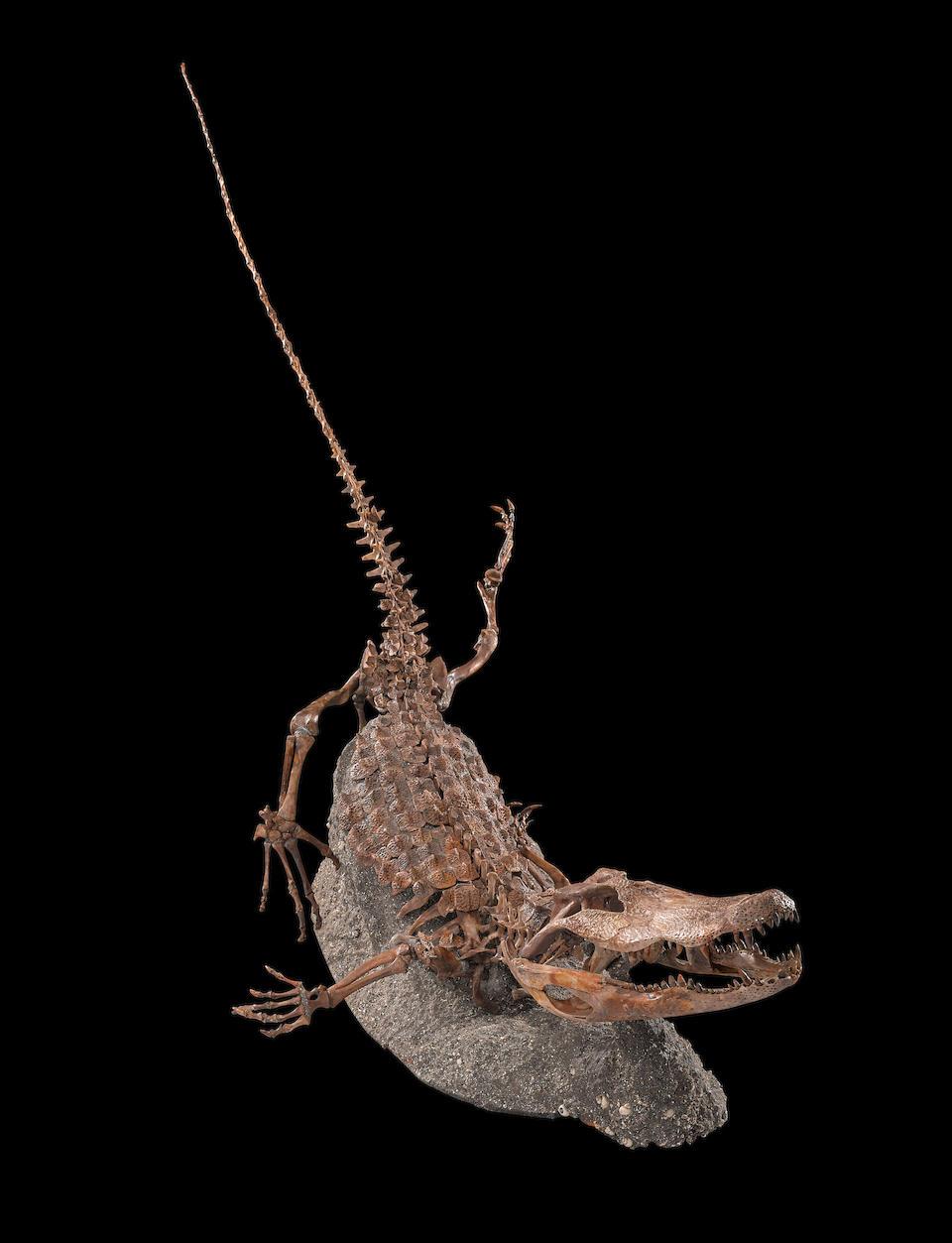 Incomparable Fossil Alligator