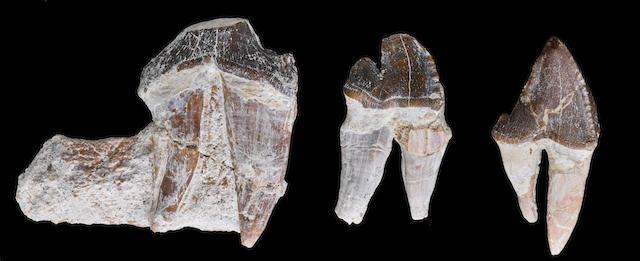 Enormous Walking Whale Teeth - Undescribed Species