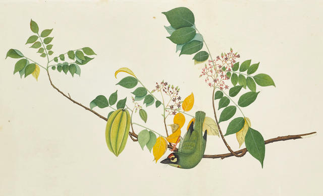 A PAINTING FROM THE IMPEY ALBUM: A COPPERSMITH BARBET (MEGALAIMA HAEMACEPHALA) ON A FLOWERING STAR FRUIT TREE BRANCH (AVERRHOA CARAMBOLA) BY SHEIK ZAYN AL-DIN, PATNA, DATED 1782