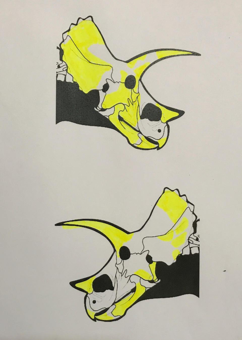 Spectacular Triceratops Skull