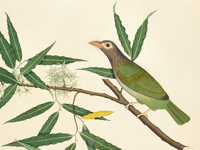 A PAINTING FROM THE IMPEY ALBUM: LINEATED BARBET (PSILOPOGON ZEYLANICUS)  BY SHEIK ZAYN AL-DIN, PATNA, DATED 1778