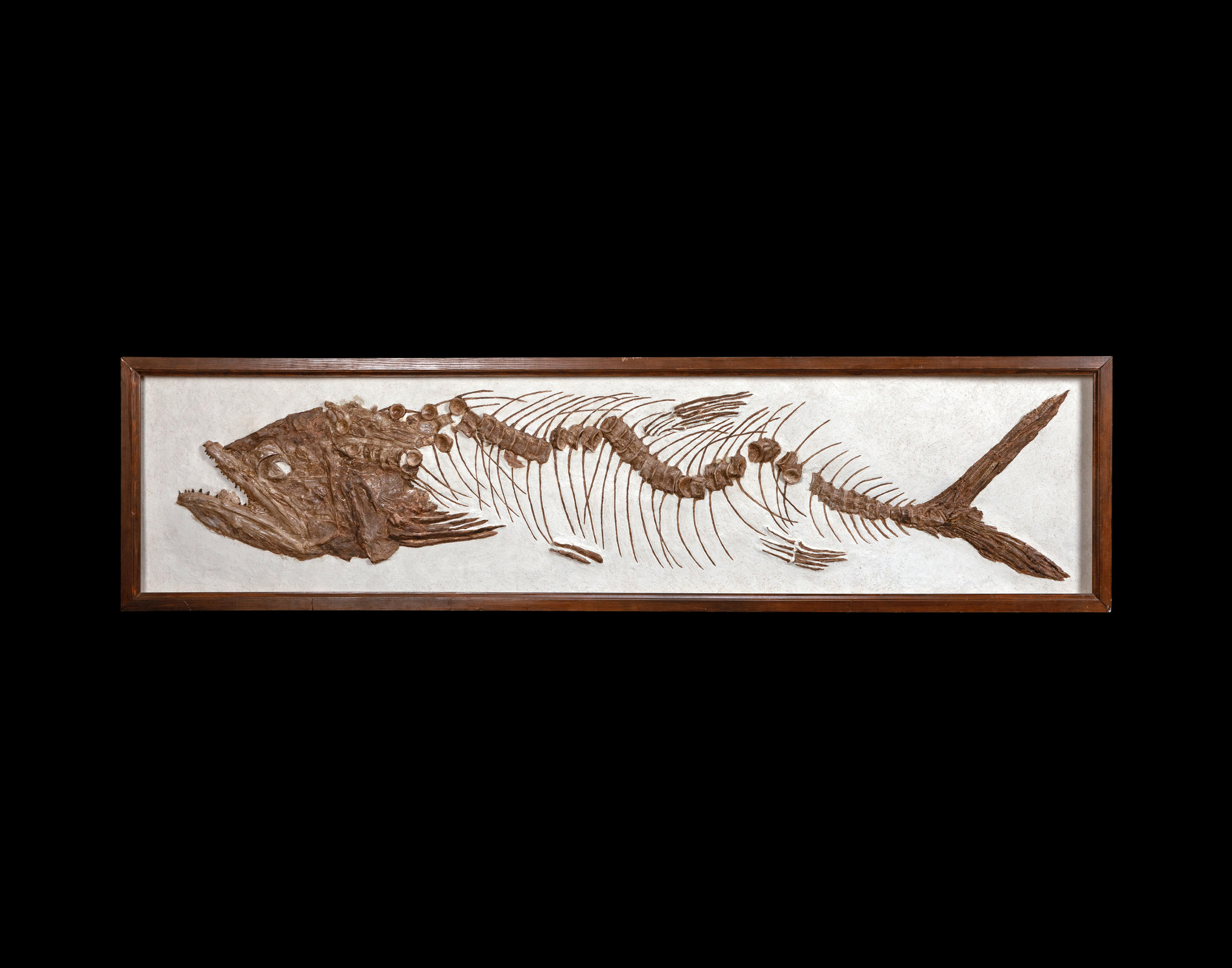 Cretaceous Borealosuchus crocodile Rooted tooth Hell Creek dinosaur beds