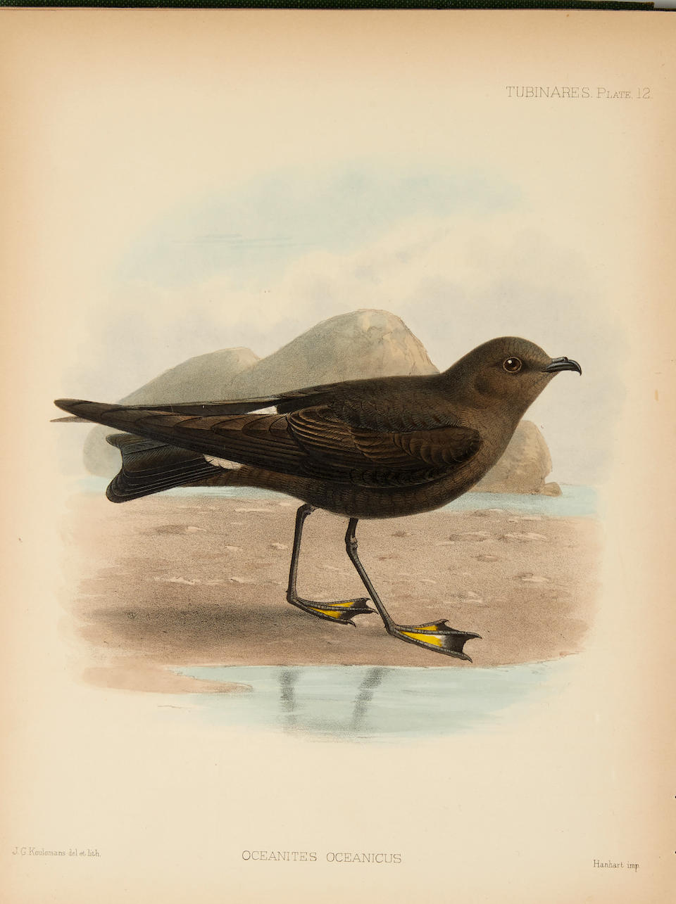 GODMAN, FREDERICK DU CANE. 1834-1919. A Monograph of the Petrels (order Tubinares). London: Witherby & Co., 1907-10.