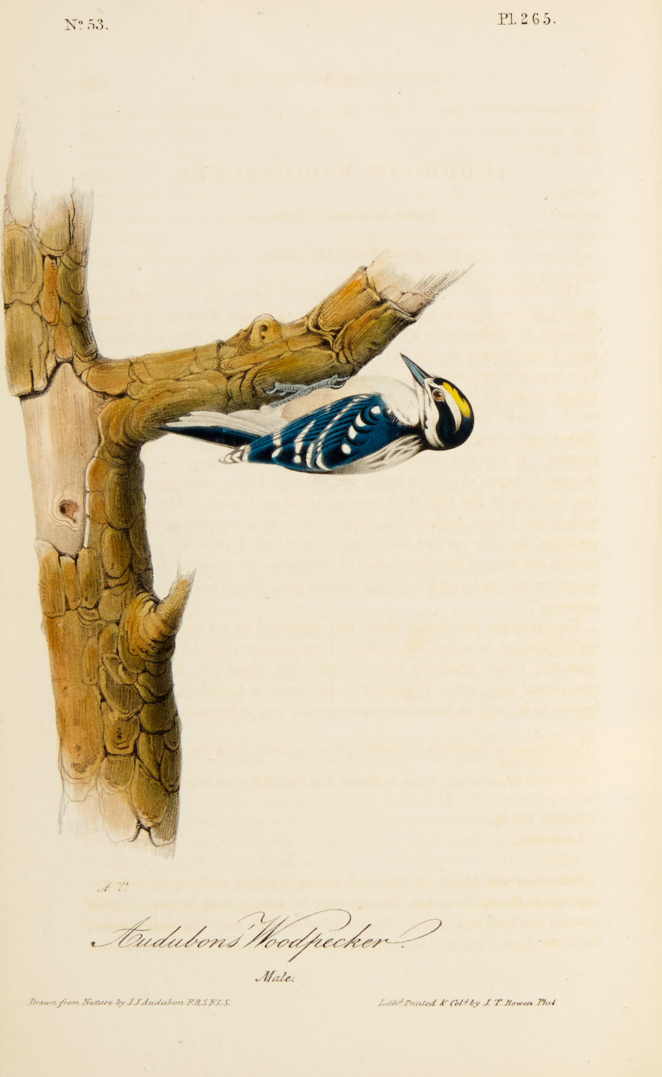 AUDUBON, JOHN JAMES. 1785-1851. The Birds of America, from Drawings Made in the United States and Their Territories.  New York & Philadelphia: J.J. Audubon & J.B. Chevalier, 1840-1844.