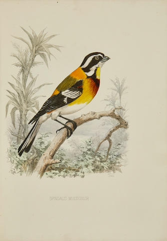 BIRDS OF CENTRAL AND SOUTH AMERICA. A collection of four works, comprising:  1.CORY, CHARLES BARNEY. 1857-1921. The Birds of Haiti and San Domingo.