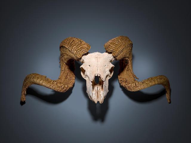A GEORGIA O'KEEFFE RAM'S HEAD FROM GHOST RANCH. Skull of a Rocky Mountain Bighorn ram,
