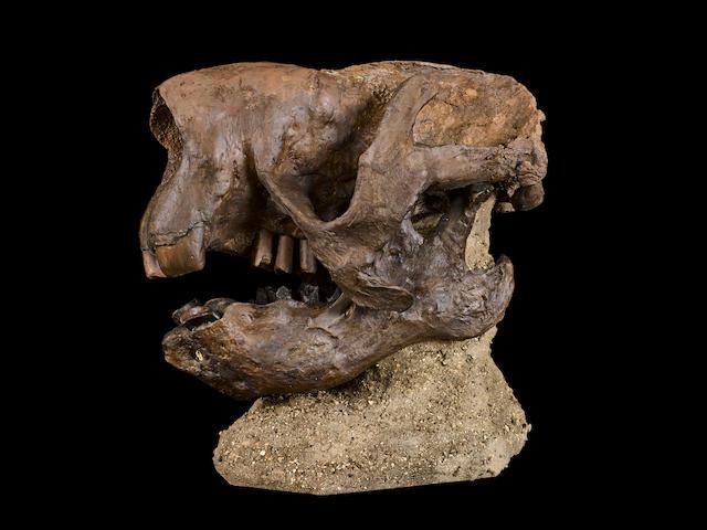 Giant Ground Sloth Skull