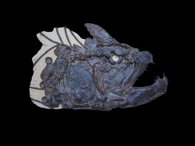 GIANT FISH SKULL FROM KANSAS