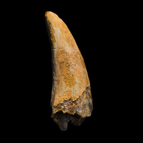 Large Tyrannosaurus Tooth